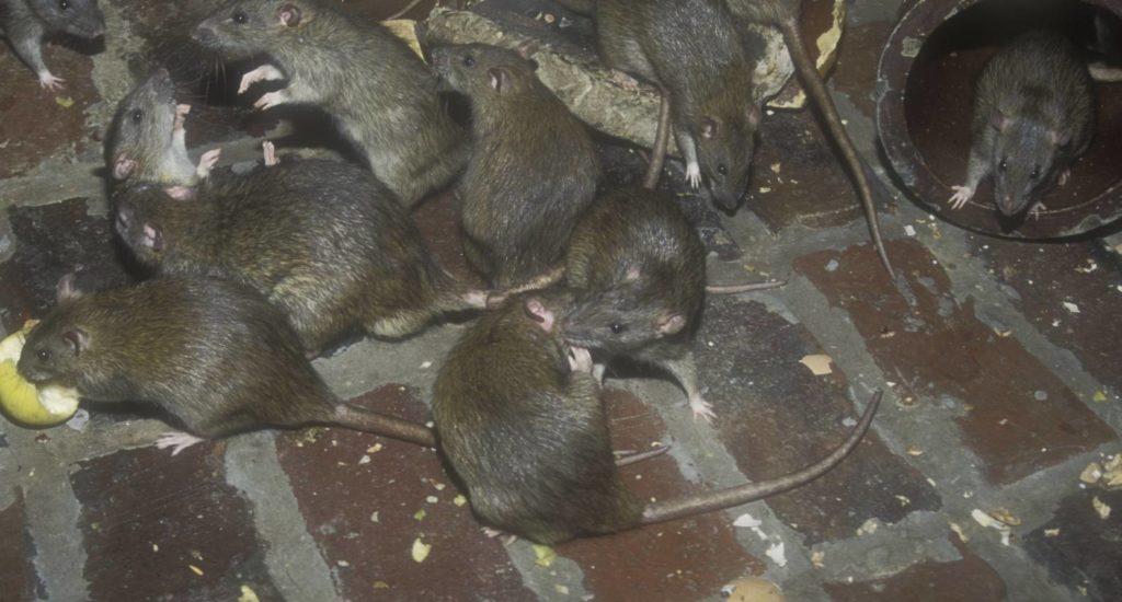 уничтожение крыс в Обнинске